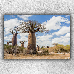 Foto na plátno Baobaby 120x80 cm