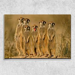 Foto na plátně Surykaty 90x60 cm