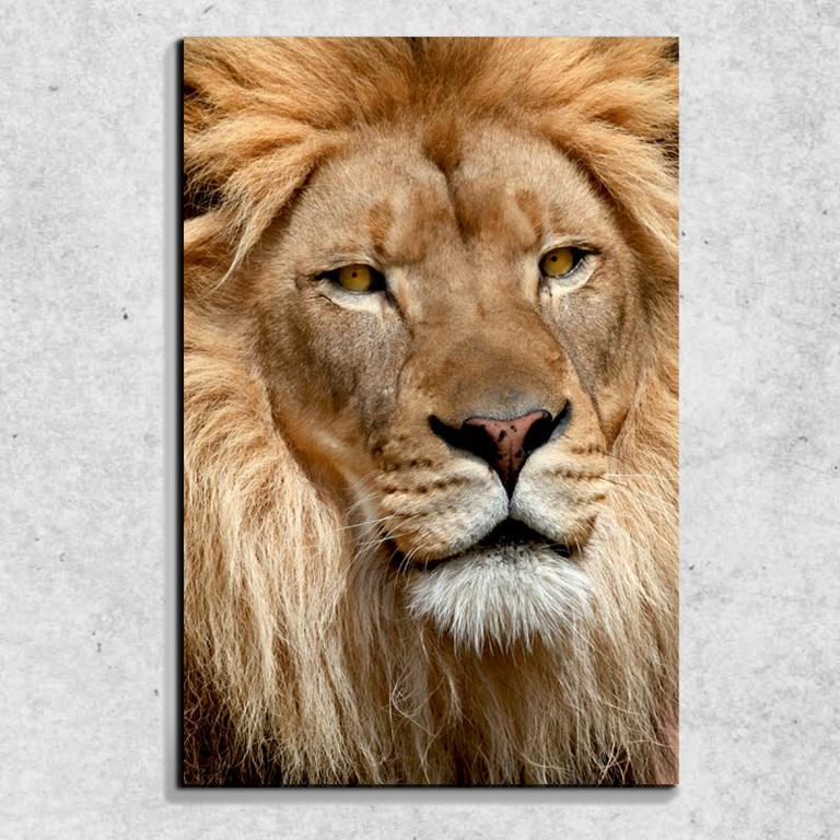 Foto na plátně Lví pohled 90x60 cm
